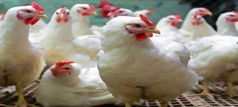 Ramesh Poultry Farm